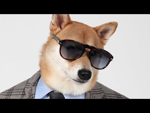 Chic Shiba: Pet Pooch Models Designer Fashion